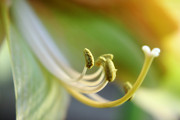 Amaryllis Photos - Amaryllis Flower by Charline Xia