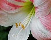 Amaryllis Photos - Amaryllis Memories by Lara Ellis