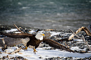 Bald Eagles Prints - Amazing Bald Eagle  Print by Debra  Miller