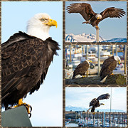 Eagle Metal Prints - Amazing Bald Eagles Metal Print by Debra  Miller
