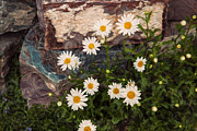 Beautiful Creek Mixed Media Framed Prints - Amazing Daisies Framed Print by Omaste Witkowski
