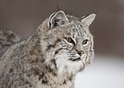 Lynx Rufus Prints - Amazing Gaze Print by Robert Weiman