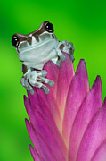 Tree Frog Prints - Amazon Milk Frog Print by Dennis Flaherty and Photo Researchers