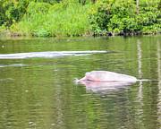 Allen Sheffield - Amazon Pink Dolphin