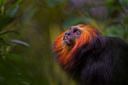 Primate Photo Prints - Amazonian Echoes Print by Ashley Vincent