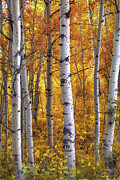 Deep Forest Framed Prints - Amber Aspens Framed Print by Marco Crupi