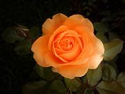 All - Amber Flush Rose by Hanza Turgul