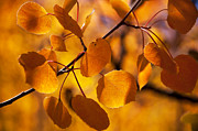 The Forests Edge Photography - Diane Sandoval - Amber Leaves