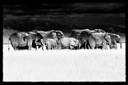 Tusk Posters - Amboseli herd with egret Poster by Mike Gaudaur