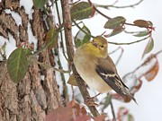 Spinus Tristis Prints - Amerian Goldfinch Print by Jack R Brock