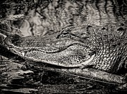 Hiding Framed Prints - American Alligator-3 Framed Print by Rudy Umans