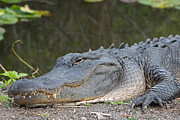 Natural Focal Point Photography - American Alligator