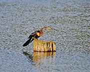 Anhinga Prints - American Anhinga Angler Print by Al Powell Photography USA