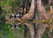 River Scenes Photos - American Anhinga or Snake-Bird by Christine Till
