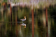 Mitch Shindelbower Prints - American Avocet 3 Print by Mitch Shindelbower