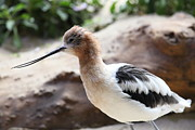 Shore Bird Framed Prints - American Avocet 5D24829 Framed Print by Wingsdomain Art and Photography