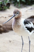Shore Bird Framed Prints - American Avocet 5D24830 Framed Print by Wingsdomain Art and Photography