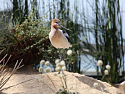 Shore Bird Posters - American Avocet 5D25095 Poster by Wingsdomain Art and Photography