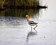 Aquatic Bird Posters - American Avocet Poster by Al Powell Photography USA