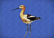 David Dehner Prints - American Avocet Bird Print by David Dehner