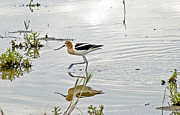 James Steele Posters - American Avocet feeding Poster by James Steele