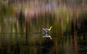 Mitch Shindelbower Prints - American Avocet Print by Mitch Shindelbower