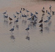 Anne Thurston - American Avocets at the...