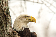 National Bird Framed Prints - American Bald Eagle 1 Framed Print by Douglas Barnett