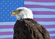 James Bo Insogna - American Bald Eagle 2