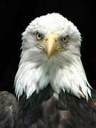 Patriot Photo Originals - American Bald Eagle 2 by Tina Barrett
