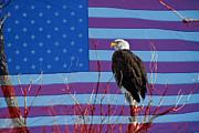 James Bo Insogna - American Bald Eagle 3