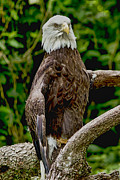 Anne Rodkin - American Bald Eagle