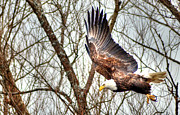 Armand  Roux - Northern Point Photography - American Bald Eagle In...