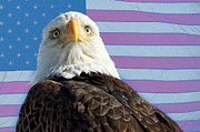 James Bo Insogna - American Bald Eagle