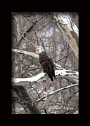 American Sycamore Prints - American Bald Eagle Juvenile Print by PJQandFriends Photography