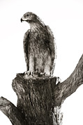 Marilyn Hunt - American Bald Eagle