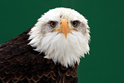 Shelley Myke Art - American Bald Eagle on the Look Out by Inspired Nature Photography By Shelley Myke