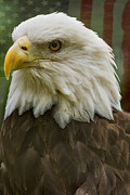 Anne Rodkin - American Bald Eagle With...