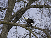 Menasha Posters - American Bald Eagle With Food 1 Poster by Thomas Young