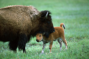 Bison Bison Photos - American Bison and Calf Yellowstone NP by Suzi Eszterhas