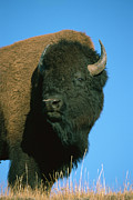 Strength Photo Posters - American Bison Bull Poster by Ingo Arndt