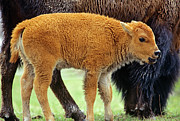 Bison Photos - American Bison Calf by Tim Fitzharris