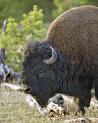 Bison Photos - American Bison by Gary Langley