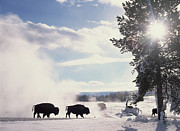 Winter Landscape. Snow Prints - American Bison In Winter Print by Tim Fitzharris