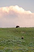 American Bison Art - American Bison in Yellowstone by Natural Focal Point Photography