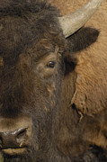 American Bison Prints - American Bison  Male Wyoming Print by Pete Oxford