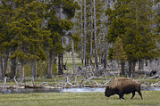 Bison Photos - American Bison Male Yellowstone by Pete Oxford