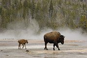 Bison Photos - American Bison Mother and Calf by Pete Oxford