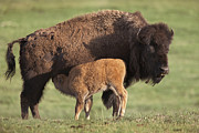 Bison Photos - American Bison Nursing Calf by Tim Fitzharris