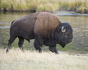 Madison Framed Prints - American Bison on the Madison River Framed Print by Gary Langley
